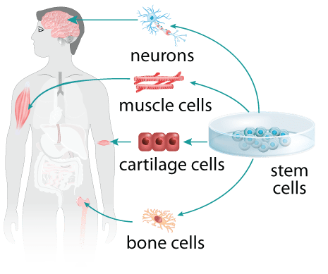 Stem Cell Transformations